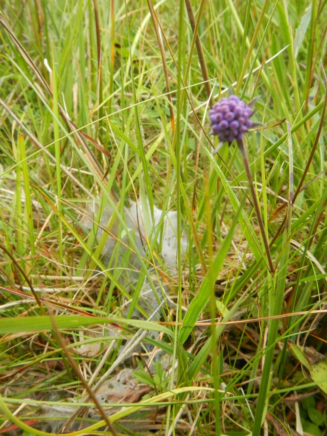 Devil's Bit Scabious with Marsh Fritillary Larval Food Webs