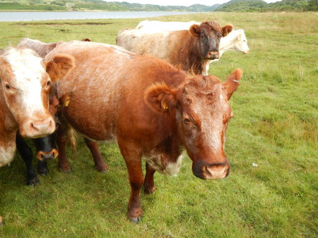 The Taynish cattle